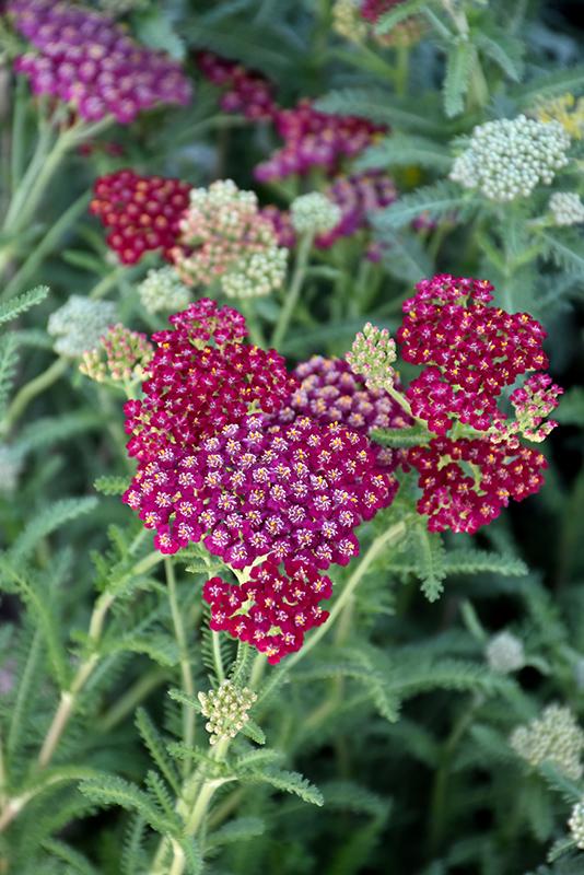 New Vintage Red Yarrow (Achillea millefolium 'Balvinred') at Piala's Nursery