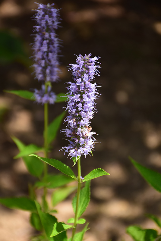Blue Fortune Anise Hyssop (Agastache 'Blue Fortune') at Piala's Nursery